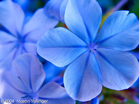 blue, flower, head, outdoors, petal, day, shade, nature, flower, flowers, blue, purple, flax, linum, perenne, lewissi, devine, nobody, plants, spring, santa, barbara, california, summer, fresh, beauty, bloom, blossom, blossoming, horizontal, outdoors, garden, botanical, floral